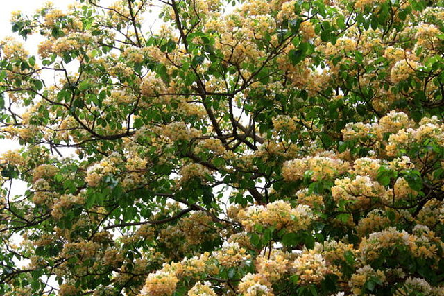 國寶樹~加羅林魚木開花
