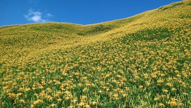 花蓮富里六十石山▲金針花季8/5-9/19 ▲一塊來賞黃金花海▲體驗這清幽迷人的風情